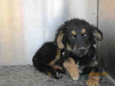 A904880 - URGENT Kern Shelter is an adoptable Shepherd Dog in Bakersfield, CA. PLEASE SAVE ME. I AM CURRENTLY AT THE KERN COUNTY BAKERSFIELD ANIMAL SHELTER. To obtain further information, have the PET...