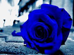 Blue Roses Wallpapers Flowers Blue Roses Wallpaper Blue Roses Blue
