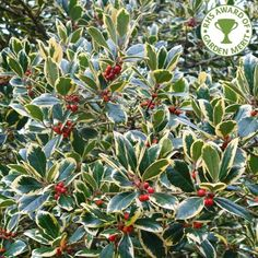 Ilex x altaclerensis 'Golden King' tree Euonymus Alatus Compactus, Holly Tree, Holly Holly, Holly Shrub, Holly Plant, Holly Bush, Tree Identification, Small White Flowers, How To Grow Taller