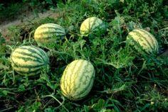 Expertos internacionales analizan los avances en el cultivo de calabaza y sandía