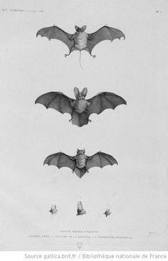 bat-  Scientific Illustration #arteducation #scientificillustration