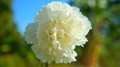 white carnation flower Types Of White Flowers, White Carnation, Types Of Colours, English Country Gardens, Moon Garden, Bulb Flowers, Container Flowers, White Gardens, Sugar Flowers