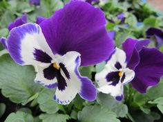 Orvokki 'Future Purple & White'