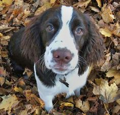 Field English Springer Spaniel - my Chipper resembled this dog.