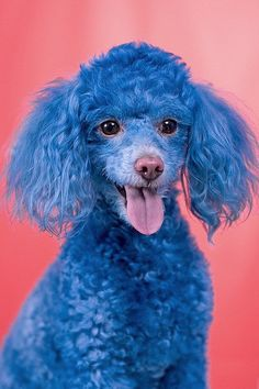 Cotton the Blue Toy Poodle. Visit him at www.myspace.com/cottonthebluetoypoodle    He an adorable and funny dog. The cutest blue poodle in the world     Enjoy the dog pictures.    Repin if you like them.