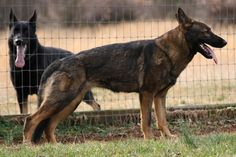 """Red Sable German Shepherd Dog 