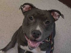 SAFE 6-6-2015 --- Manhattan Center CALIFORNIA – A1037731  FEMALE, GRAY / WHITE, AMERICAN STAFF MIX, 1 yr OWNER SUR – EVALUATE, NO HOLD Reason COST Intake condition EXAM REQ Intake Date 05/27/2015