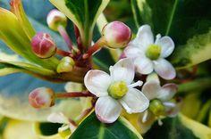 holly flor de bach - Buscar con Google