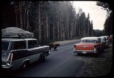 yellowstone-1958. The good ol' days when you actually got to see bears