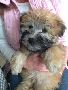 My Sweetie Wheatie Puppy Wheaten Terrier Puppy, Puppies Puppies, Puppys, Pagan, Dog Love, Doggies, Dog Breeds, Cute Dogs, Cute Animals