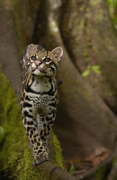 Ocelot walking on buttress root on the Amazon rainforest floor, Ecuador -Pete Oxford