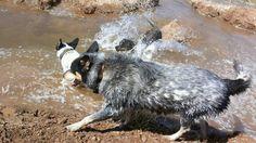 Water play, Australian Cattle Dog