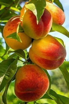 Pin by Татьяна Матвеева on фрукты,ягоды in 2019 Fruit Plants, Fruit Garden, Fruit Trees, Fresh Fruits And Vegetables, Organic Vegetables, Fruit And Veg, Growing Vegetables, Photo Fruit, Fruit Picture