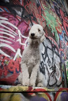 Bedlington Terrier by ~beddiz on deviantART Dog Puppy Dogs Puppies Small Dog Names, Doggies, Dogs And Puppies, Dog Breeds List, Dog Varieties, Companion Dog, Lamb Chops, Old Dogs, Puppy Pictures