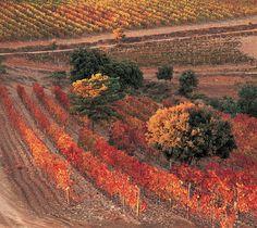Queremos hablaros de la variedad Pinot Noir, que se comenzó a plantar en los viñedos de Viñas del Vero a finales de los ochenta. Esta uva es originaria de la Borgoña, bien conocida por usarse en Francia como vino base para la elaboración del champagne y es considerada una de las variedades más selectas a nivel mundial para crear vinos varietales.