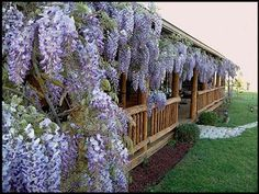 How to Plant and Care for Wisteria ~ LOVE Wisteria!