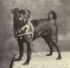 old pictures of toy dog breeds