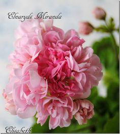 Pelargonium Elnaryds Miranda