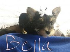 Puppies for Sale Yorkies For Sale, Puppies For Sale, Yorkshire Terrier Puppies, Dundee, Cats, Animals, Gatos, Animales, Animaux