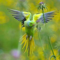 Rose-ringed Parakeet in flight. (Photo: Vladimir Kogan Michael/Shutterstock)