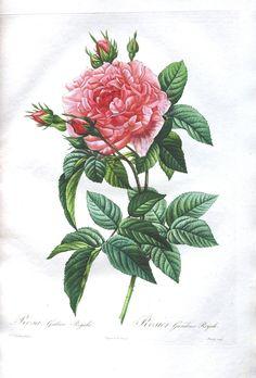 Botanical - Flower - Les Roses 27