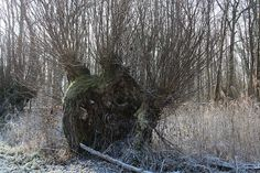 Willow Tree - Kopfweide by ivlys, via Flickr