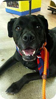 Coldwater, MI - Boxer/Labrador Retriever Mix. Meet Mac - FOSTER HOME, a dog for adoption. http://www.adoptapet.com/pet/14331165-coldwater-michigan-boxer-mix
