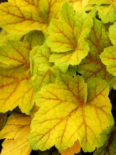 """Heuchera, Electra (Coral Bell) Electric red veining remains unchanged while foliage transforms from bright green/yellow in spring to chartreuse in summer, soft red in fall. Short spikes of white flowers, 8-12 """" height"""