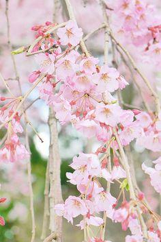 #sakura #cherryblossom