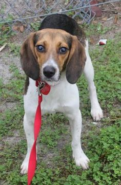 Check out Audrey's profile on AllPaws.com and help her get adopted! Audrey is an adorable Dog that needs a new home. https://www.allpaws.com/adopt-a-dog/beagle/4007837?social_ref=pinterest