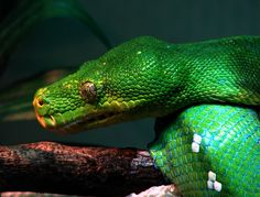 emerald green tree python