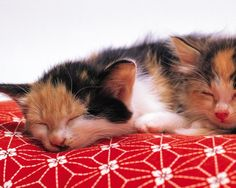 the-cute-kitten:    kittens couple down plaid    source: http://ift.tt/1UNJ9xf (cute animals)