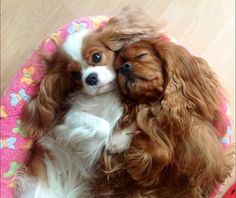 16 Reasons Cavalier King Charles Spaniels Are The Worst Indoor Dog Breeds Of All… - Animals Beautiful Dogs, Animals Beautiful, Cute Animals, Cute Puppies, Cute Dogs, Cavalier King Charles Dog, King Charles Spaniels, Cockerspaniel, Spaniel Puppies