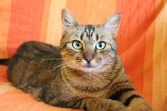 Características de los gatos atigrados, los tigres en miniatura - http://www.notigatos.es/caracteristicas-de-los-gatos-atigrados/ #gatos
