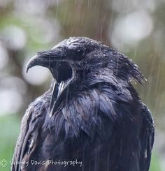 Your daily (baby) raven via Wendy Davis Photography Facebook