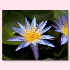 Water Lily Post Card