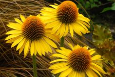 Echinacea 'Maui Sunshine' Bright orange cones surrounded with a ring of yellow petals make 'Maui Sunshine' coneflower glow in the garden. Plants form 2-foot-tall clumps; flower stems bring the height to just shy of 3 feet. 'Maui Sunshine' is hardy in zones 4 to 9.