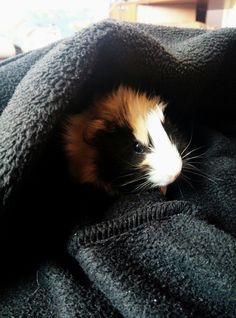 My Guineea  Pig