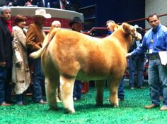 Grand Champion Market steer sold for $230,000 at the Fort Worth Stock Show. woah.