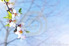 Almond blossom. Springtime tree branch with pink flowers and leaves.