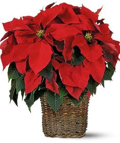 Send this gorgeous, explosion of popular red poinsettia plants for Christmas. Long-lasting, hardy and festive. Elegant assortment of red poinsettia plants accented with Christmas decorations and greens is arranged in bamboo basket. Poinsettia Plant, Christmas Poinsettia, Christmas Flowers, Christmas Wreaths, Christmas Decorations, Christmas Ideas, Christmas Cards, Merry Christmas