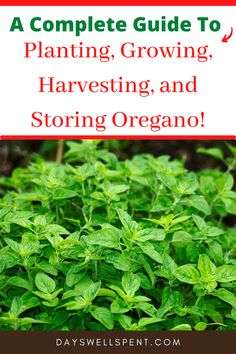 Everything you need to know to grow, harvest and store oregano. Backyard Farmer, Backyard Vegetable Gardens, Herb Gardening, Organic Gardening, Types Of Herbs, Different Plants, Growing Herbs, Frugal Tips, Medicinal Herbs