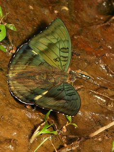 Bronze Duke (Euthalia nara, Nymphalidae) Butterfly Effect, Butterfly Kisses, Butterfly Wings, Types Of Butterflies, Butterflies Flying, Beautiful Bugs, Beautiful Butterflies, Butterfly Species, Butterfly Painting