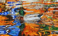 Mallard male duck in autumn coloured water reflection of leaves changing colour Leaves Changing Color, Reflection Art, Water Art, Beautiful Birds, Colorful Interiors, Original Artwork, Art Pieces, Artsy, Watercolor