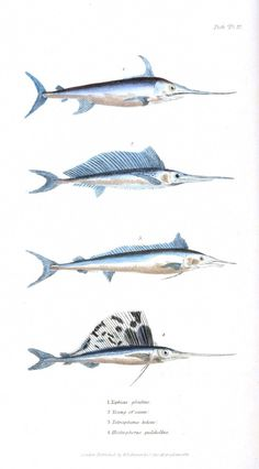 Animal - Fish - Couvier 1834 -  (36)