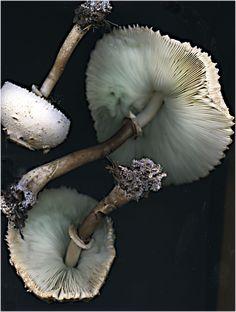 Three White Toadstools by Jack Barnosky