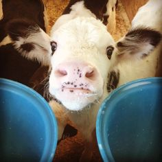 Stolen from her grieving mother at birth and deprived of her precious milk so that humans can suck it down even though it is a health hazard. Veal is a by product of the dairy industry. Newborn males are waste products. What have we become?