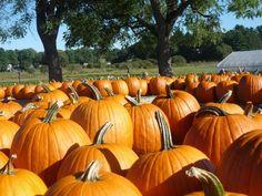 Pumpkins at Tangerini's Farm, Millis MA: http://visitingnewengland.com/travel-secrets-tangerinis.html #pumpkins #tangerinis
