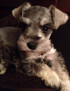 Mini Schnauzer puppy! :)