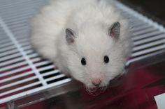 Syrian Hamster LH Rex Off-white (silver cream) (eeSgsg)   Diadem's Hamstery